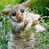 randomling: A wombat. (Default)
