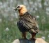 venatosapiens: griffin vulture (Default)