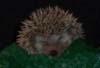 oursin: Sleeping hedgehog (sleepy hedgehog)