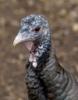 mdlbear: Wild turkey hen close-up (turkey)
