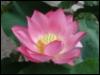 jamethiel: A pink lotus flower (LotusFlower)